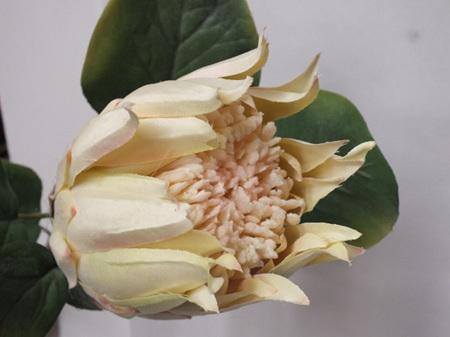 King Protea cream 4553