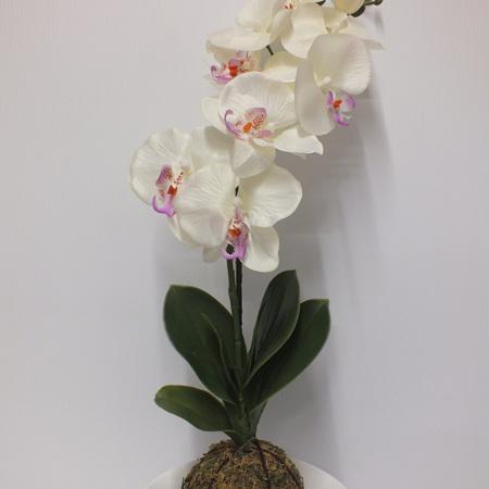 Kokodama orchid in white ceramic 2318