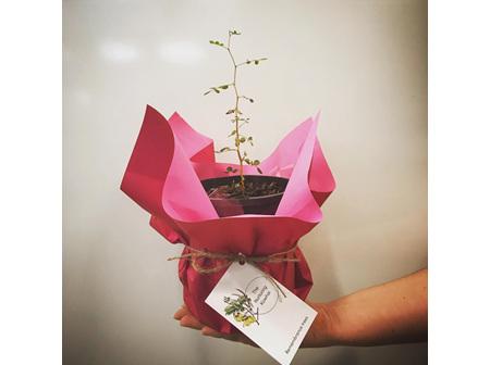 Kowhai Plant