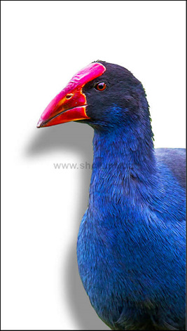 Nz easter gift ideas search giftfind for easter eggs kp13 pukeko shadow board negle Image collections