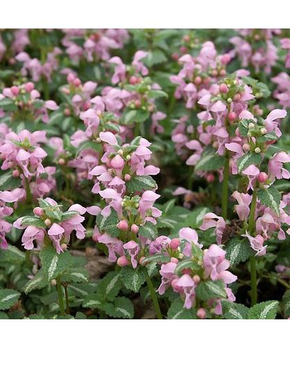 Lamium maculatum 'Pink Pixie'