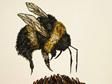 Large Bumble Bee - Prints