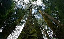 Large Native New Zealand Tree