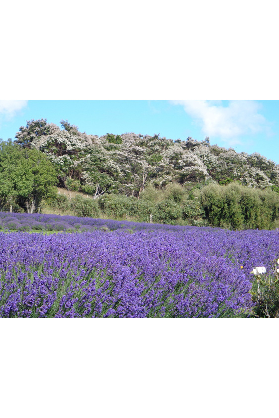 Lavender and Manuka Flowers