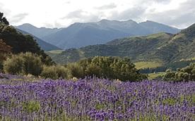 Lavender Magic Farm in New Zealand