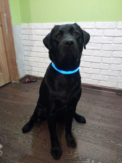 LED Dog Collars - Blue, Red, Pink, Black