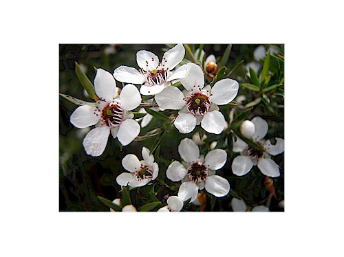 Leptospermum scoparium High-NPA-Westland