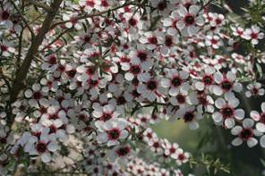 Leptospermum scoparium incanum High-NPA-Northland