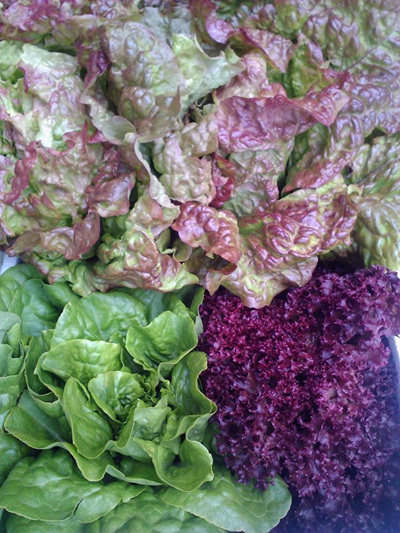 Lettuces (local organically grown) - 1 head