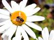 Leucanthemum superbum 'Snow Lady'