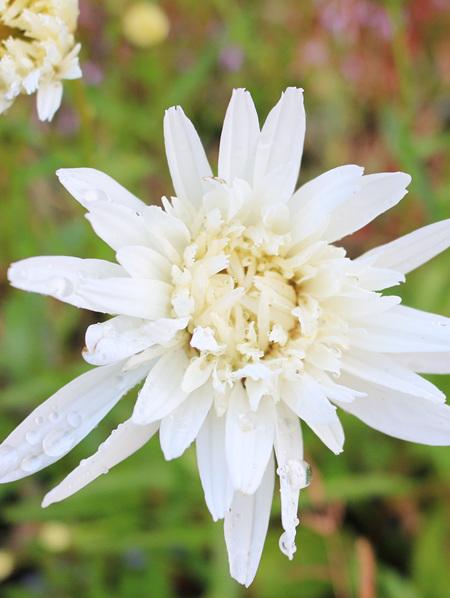 Leucanthemum x superbum  'Crazy Daisy'
