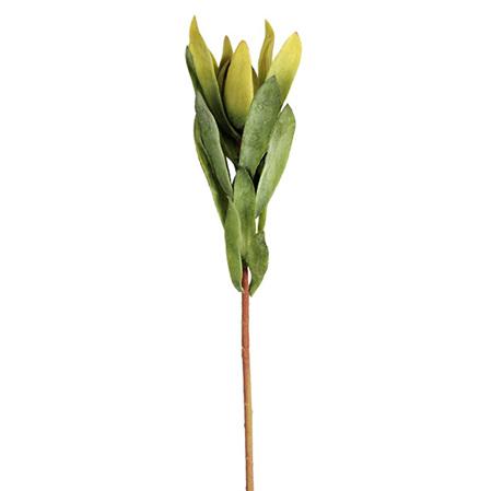 Leucodendron Green 4361
