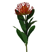 Leucospermum Red Orange 1917