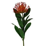 Leucospermum Red Orange 1917