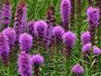 Liatris spicata Kobold