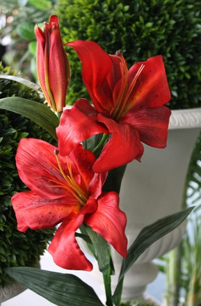 Lily  Asiatic  Red 1879