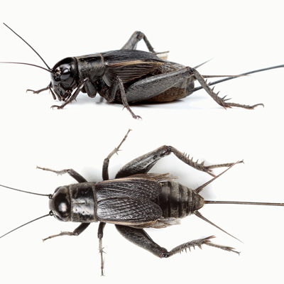 Live Crickets