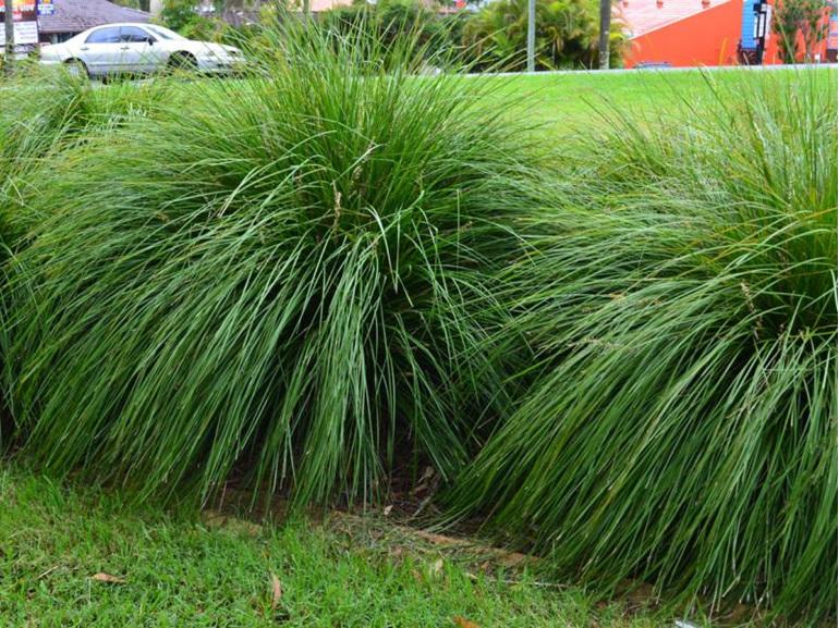 Lomandra longifolia