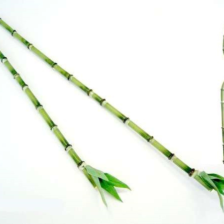 Lucky Bamboo Stem 1228