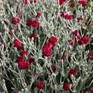 Lychnis Gardeners World