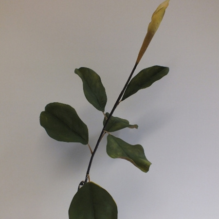 Magnolia leaves stem 4411