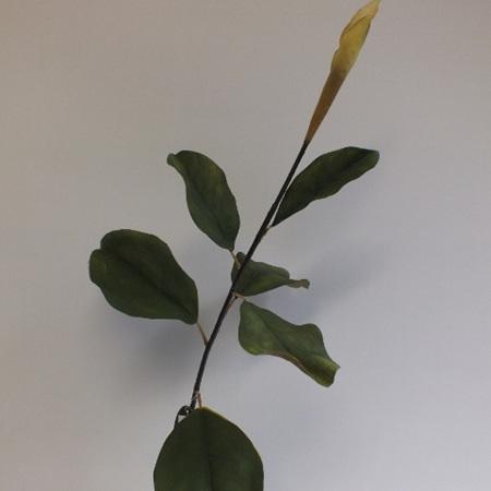 Magnolia leaves stem 4411