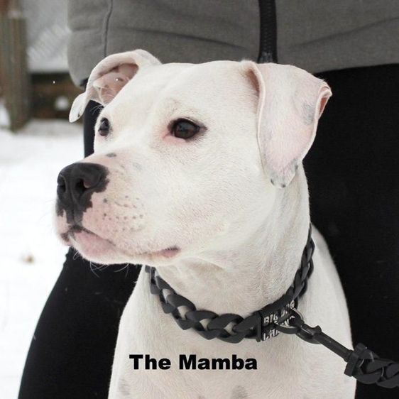 Mamba Black Stainless Steel Dog Collar by Big Dog Chains