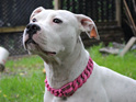 Maui Pink Custom Flower Dog Collar by Big Dog Chains