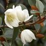 Michelia yunnanense