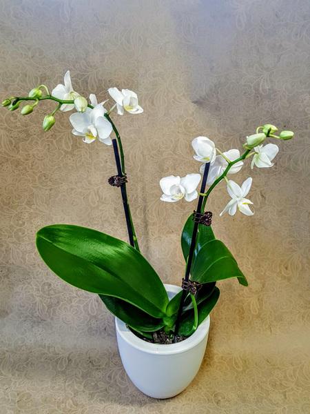 Miniature Phalaenopsis Orchid Plant