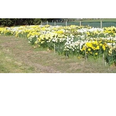 Mixed Daffodil flowering size
