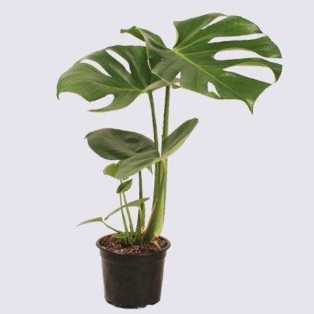 Monstera Deliciosa Pot Plant