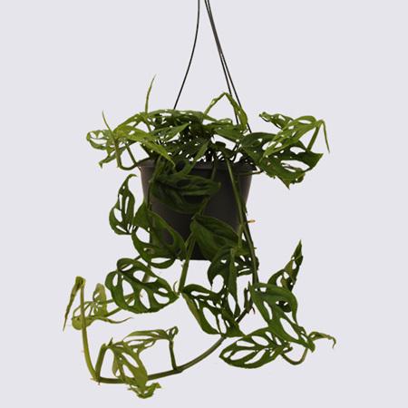 Monstera Swiss Cheese Vine 17cm Hanging Pot Plant