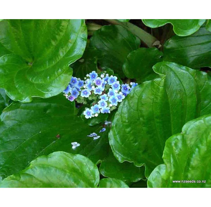 Myosotidium hortensia