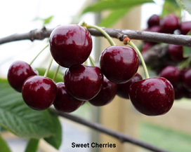New Zealand Cherries for sale
