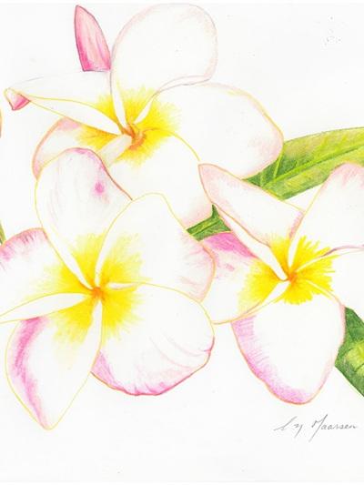 NZ Artist Blank Greeting Card Frangipani