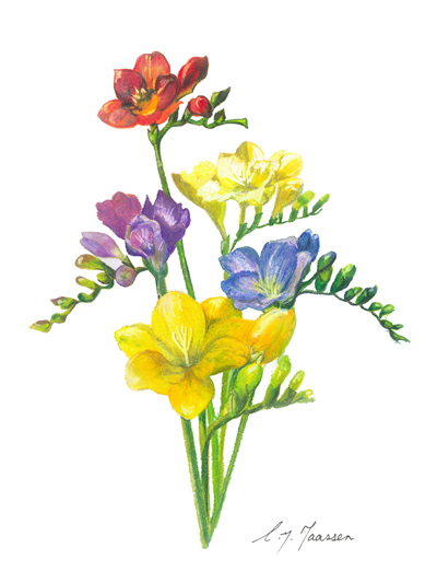NZ Artist Blank Greeting Card Freesias on White Background