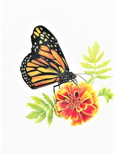 NZ Artist Blank Greeting Card Monarch Butterfly