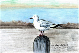 NZ Artist Blank Greeting Card New Zealand Red-Billed Gull