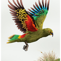 NZ In Flight Kea - A3 Print