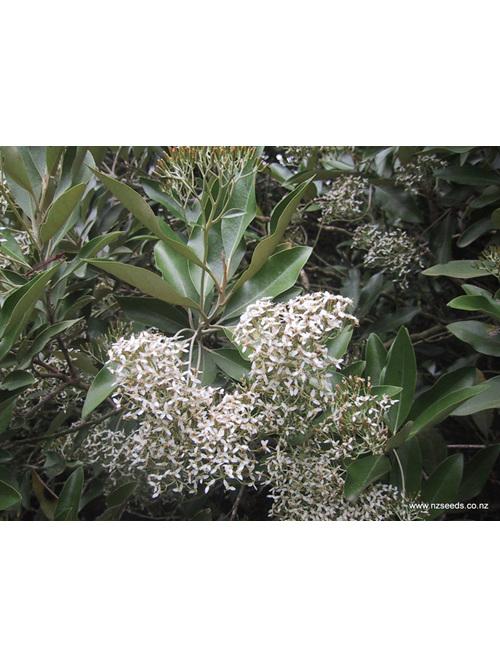 Olearia avicenniaefolia