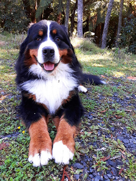 Ollie our Bernese Mountain Dog. Chief dog treat tester