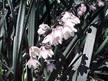 Ophiopogon planiscapus 'Black Dragon'