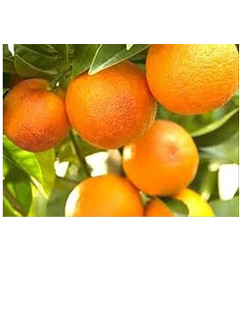 Oranges NZ Valencia Certified Organic Approx 1kg