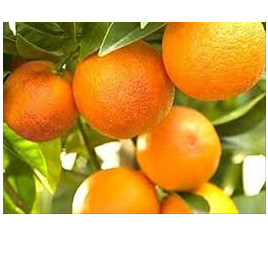Oranges or Tangelos NZ  Certified Organic 1Kg