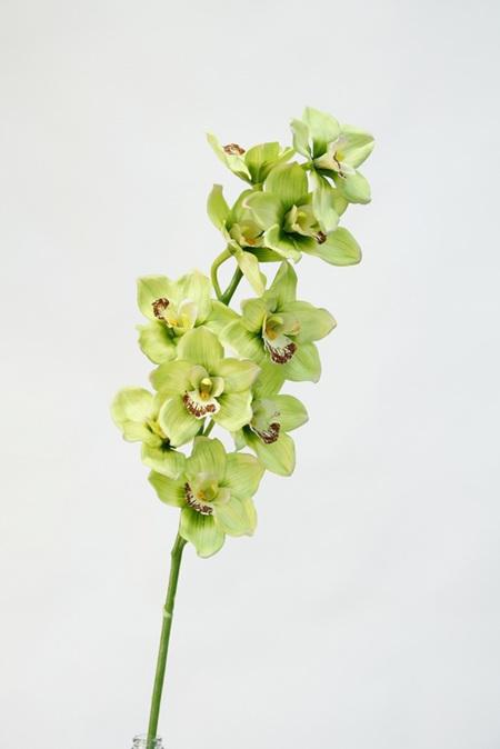 Orchid Cymbidium Green 1950