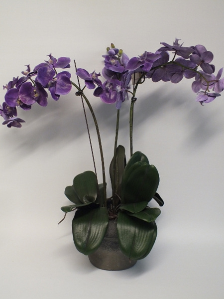 Orchid Phalaenopsis in container Mauve 4436