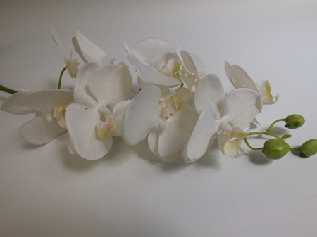 Orchid Phalaenopsis White with plant 4254