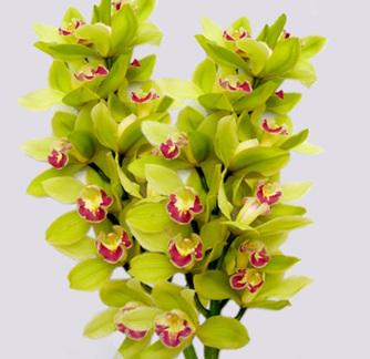 Cymbidium Orchid Stems