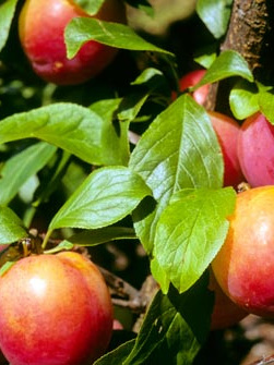 Organic Plums (Fortune) - 500g